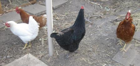 Our chickens -- two ISA Browns, an Australorp and a Leghorn
